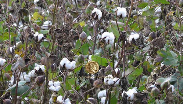 cotton1new1