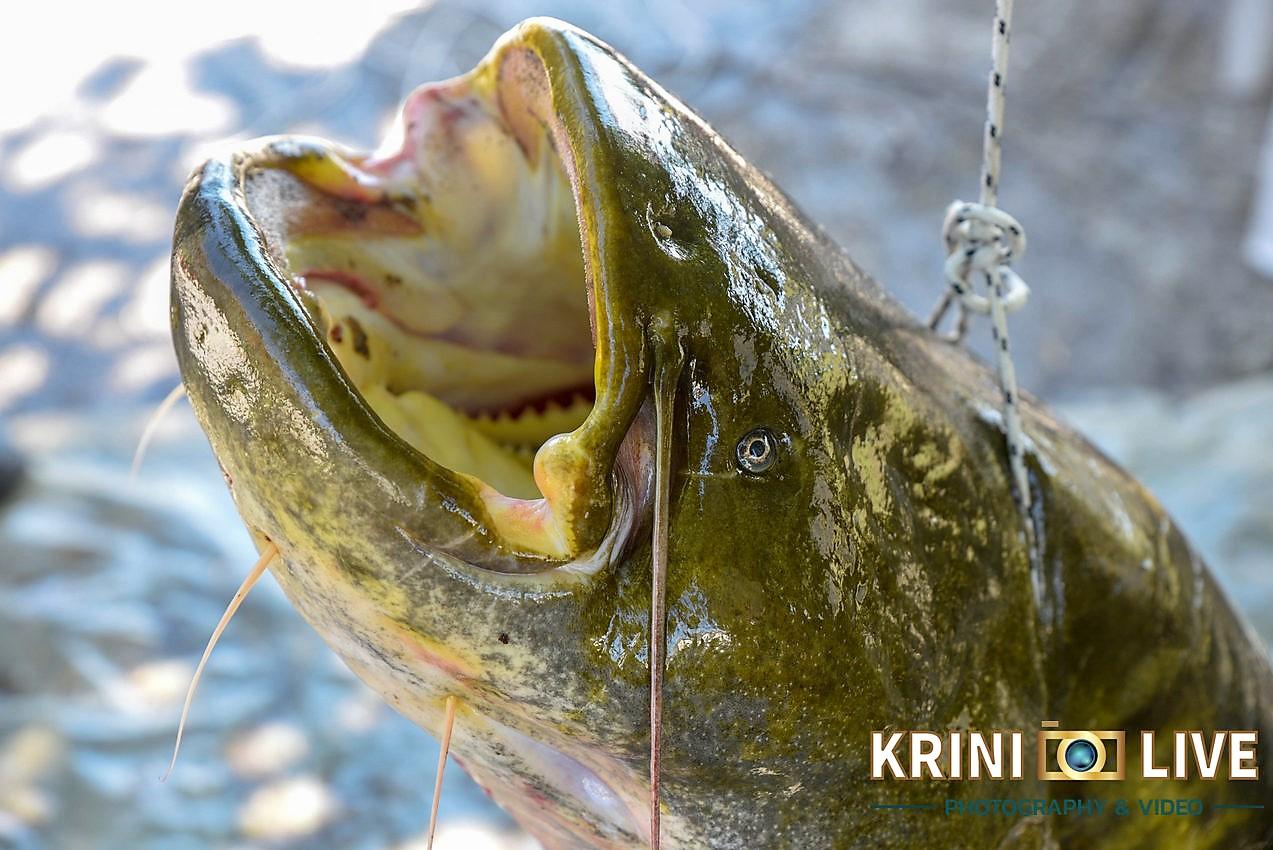 DSC5883 - Ψάρι 35 κιλών «έβγαλε» Ιερέας στον Πηνειό ποταμό